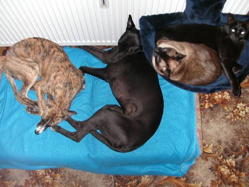 kočkochrtí smečka - Apa, Brodway, Sharie, smokie